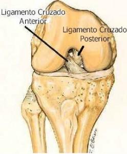 Ligamentos cruzado anterior e posterior do joelho.