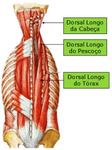 DORSAL LONGO