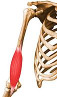 biceps braquial e braquial - Copia