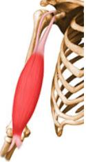 biceps braquial e braquial