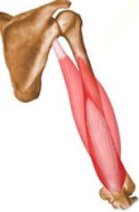 coracobraquial e triceps - Copia