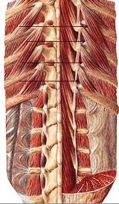 intercostais e levantadores da costela - Copia