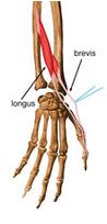 extensor longo do polegar e extensor do 2 dedo