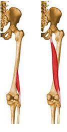 biceps femoral