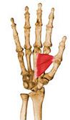 adutor do polegar